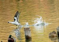 ミコアイサの飛び出し - barbersanの野鳥観察