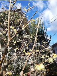 冬なんだけど、春~^^ - 茉莉花