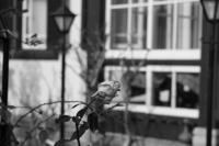 英国館のバラ - kisaragi