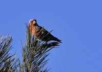 赤松の天辺で...イスカ - 野鳥...四季折々