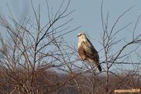 ようやく迎えた初撮影・・・ケアシノスリ。 - 野鳥のさえずり、山犬のぼやき