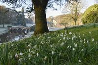 イギリスでスノードロップスが咲き始めました!春の花ミニカード - ブルーベルの森-ブログ-英国のハンドメイド陶器と雑貨の通販