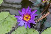 熱帯睡蓮とサボテン - あだっちゃんの花鳥風月