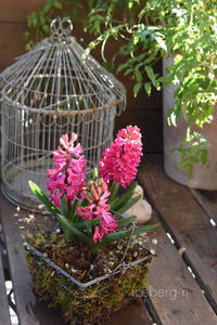 芽出し球根とパンジー - 小さな庭 2