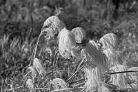 寿ぐ月 寫誌 ⑬枯れすすき - FOTOKOTO