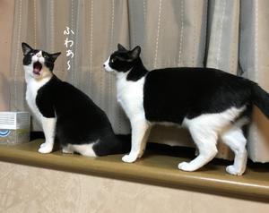 はちわれハッちゃんVSはちわれくりちゃん あかんのに! - gin~tetsu~nosuke