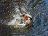 ヒドリガモたちの盛大な水遊び - トドの野鳥日記