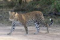 サバンナの野生動物たち(1歳のヒョウの女の子) - 旅プラスの日記
