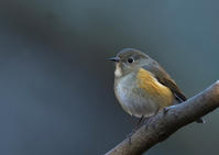 ルリビタキ雌 - 今日も鳥撮り