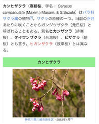 今年初の旅行は沖縄へ…その3八重岳でお花見! - アキタンの年金&株主生活+毎月旅日記