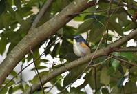 ルリビタキの若さん - 鳥と共に日々是好日