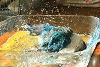 水浴びB.Bの記録→(1月11日・短い水浴び) - FUNKY'S BLUE SKY