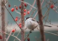 今日の鳥さん190115№2 - 万願寺通信
