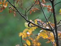 もうしばらく・・・エナガ。 - 鳥見んGOO!(とりみんぐー!)野鳥との出逢い