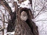 エゾフクロウ - 今日の鳥さんⅡ