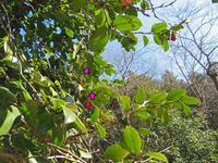 越冬中のウラギンシジミ - 秩父の蝶