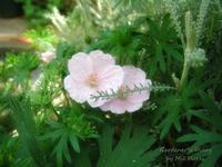 Geranium Striatum - Gardener*s Diary