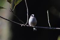 池の端で ⑫ エナガお食事 - 気まぐれ野鳥写真