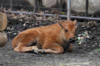 初夏の上野動物園~バイソン&プレーリードッグBABYとタテガミオオカミのNEWフェイス - 続々・動物園ありマス。