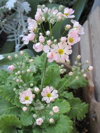 癒しのピンク・マラコイデス湖畔の夢シリーズ - bowerbird garden ~私はニワシドリ~