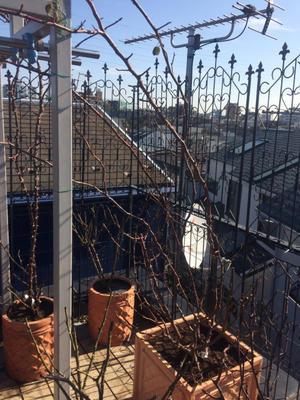 つるバラの植え替え!!!!!!!!棘との戦い - 目黒区 都立大の 花屋  moco    花と 植物で楽しい毎日     一人で全力で営業中
