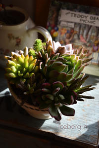 多肉植物の寄せ植えとセダムドラゴンズブラット - 小さな庭 2