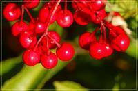 赤い実、白い実、フキノトウ、桜家の1月の庭 - 気ままにデジカメ散歩