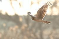 河原のハイイロチュウヒ(メス) - 野鳥公園