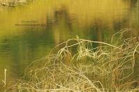 ピアノ池の鳥たち -カワセミ- - It's only photo 2