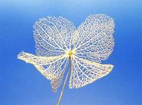 アジサイの葉脈(花脈) - 野の花と星達に会えるといいね
