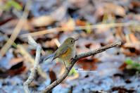 かわいい ルリビタキ雌 - azure 自然散策 ~自然・季節・野鳥~