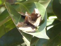 ムラサキツバメ大寒目前の寒さ - 蝶のいる風景blog