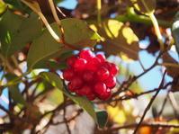 「再会」という花言葉をもつサネカズラ - 神戸布引ハーブ園 ハーブガイド ハーブ花ごよみ