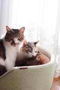 ペロペロがうつった猫 - きょうだい猫と仲良し暮らし