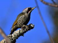 枝が邪魔ですが・・・アオゲラさん - 鳥と共に日々是好日