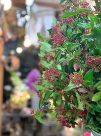 トキワガマズミとティナス - ルーシュの花仕事