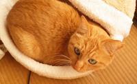 「大王がむりやり猫ベッド」 - もるとゆらじお