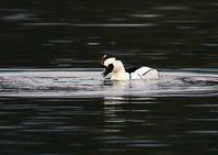 ミコアイサ、捕食シーン - THE LIFE OF BIRDS ー 野鳥つれづれ記