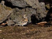 アトリがよく出てくれました - コーヒー党の野鳥と自然 パート2