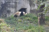 2018年11月成都大熊猫繁殖研究基地その3陽ちゃんと再会 - ハープの徒然草