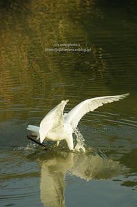 ピアノ池の鳥たち -狩り- - It's only photo 2