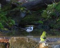エナガの水浴、は、、 - ぶらり探鳥