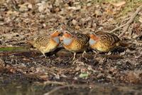 池の端で ⑭ コジュケイ(外来種)アピール ? - 気まぐれ野鳥写真