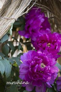 ただいま綺麗に咲いています*上野ぼたん苑 - MIRU'S PHOTO