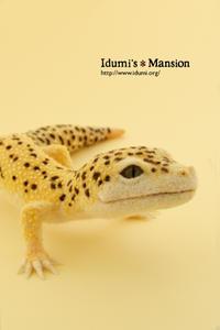 ヒョウモントカゲモドキ * Eublepharis macularius 3 - … いづみのつぶやき