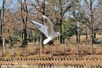 綺麗になった修景池の南側にいたユリカモメ(^^♪ - 自然のキャンバス