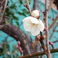 陶芸教室と梅の花 - 優駿、大樹の下で和を奏でる~平屋暮らし*時々handmade~