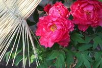 鶴岡八幡宮と神苑ぼたん庭園(2) - 木洩れ日 青葉 photo散歩