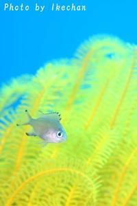 パクリではなく~ササスズメダイ幼若魚~ - 池ちゃんのマリンフォト