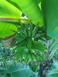 久々!MYバナナちゃん - LILOANでお局三昧!